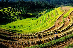 Terraced rice fields in Ca Bang