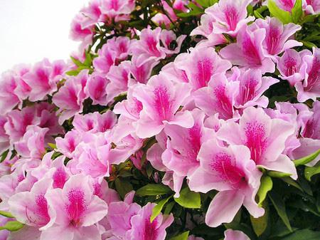 Do Quyen flower