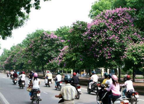 Kim Ma street stands the most beautiful lagerstroemia flowers