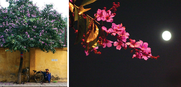 1 Purple umbrellas. 2 Lagerstroemia flowers are sparkling in the moonlit