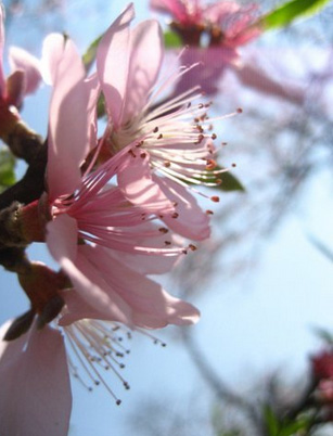 In Kia Pa Co Cave, a H'mong village 20km from Moc Chau, the big peach trees also start blooming