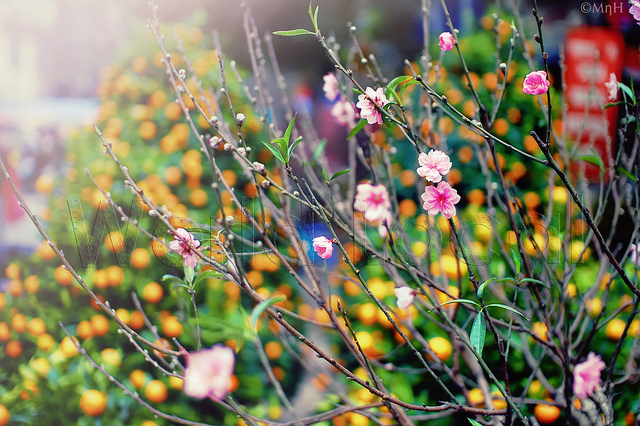 Cherry flower for Lunar New Year