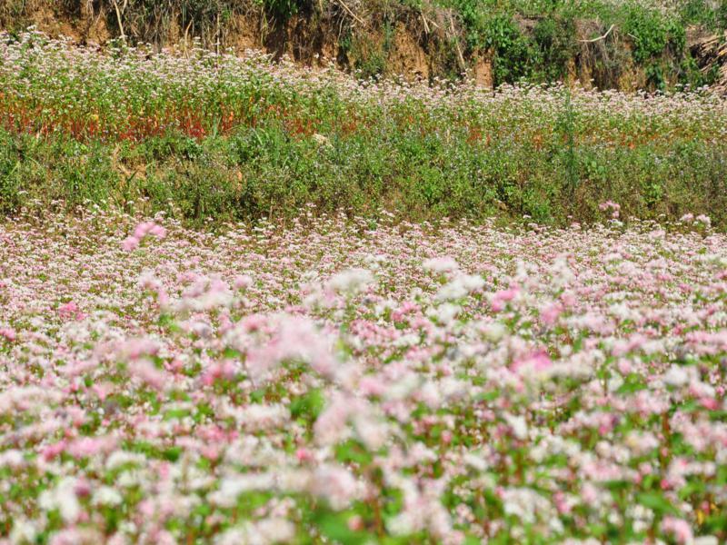 FLOWER SEASON IN HA GIANG