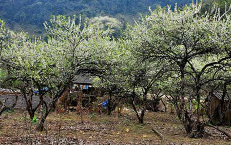 Moc Chau Plum Blossom