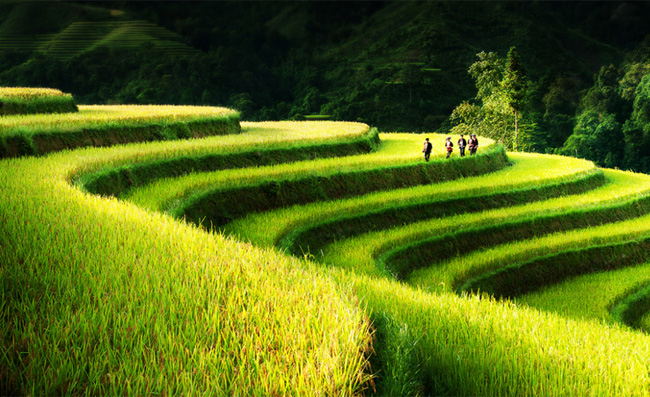 North Vietnam terraced rice fields