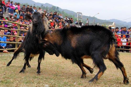 Goat fighting contest