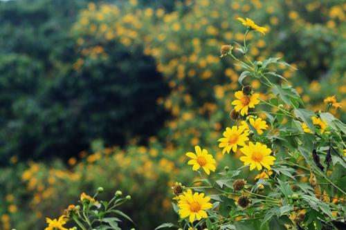 Sunflowers in Ba Vi National Park